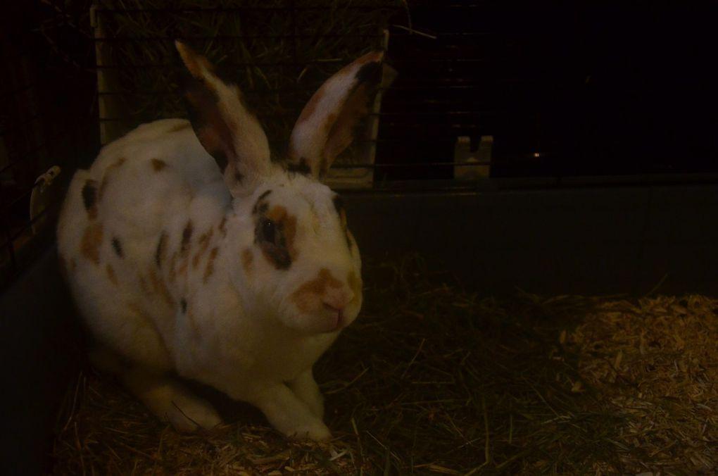 NUAGE : lapin mâle REX de 5 ans et PONGO, lapin mâle de 6 mois
