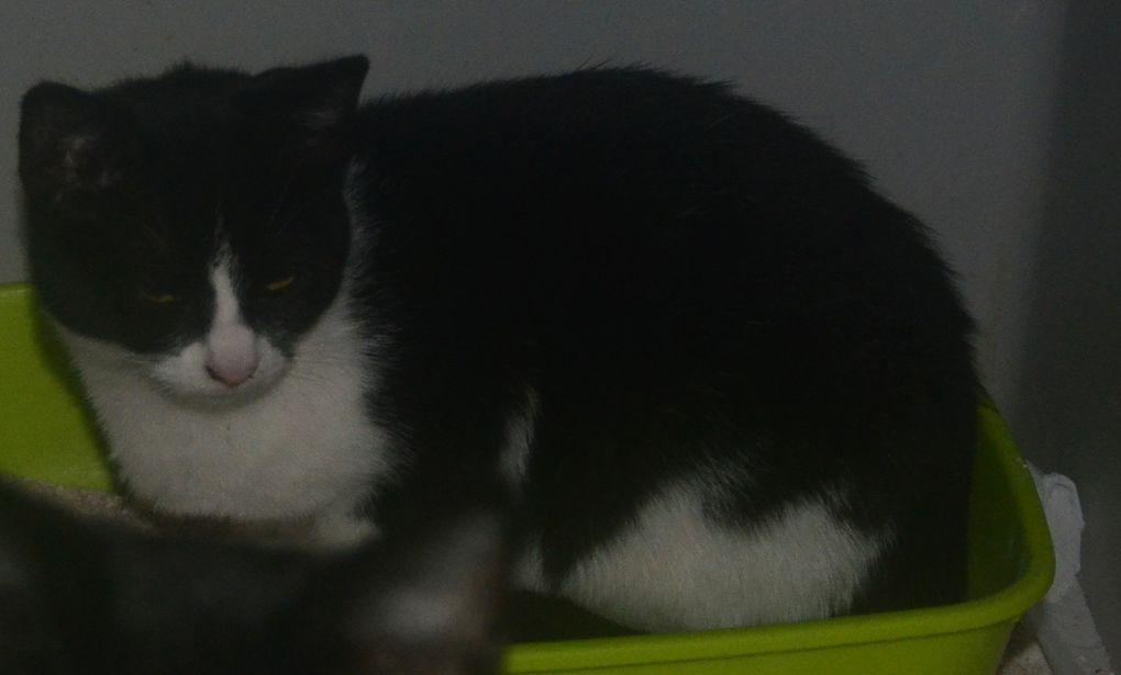 A adopter :  CANDY petite chatte stérilisée née le 01/05/2017