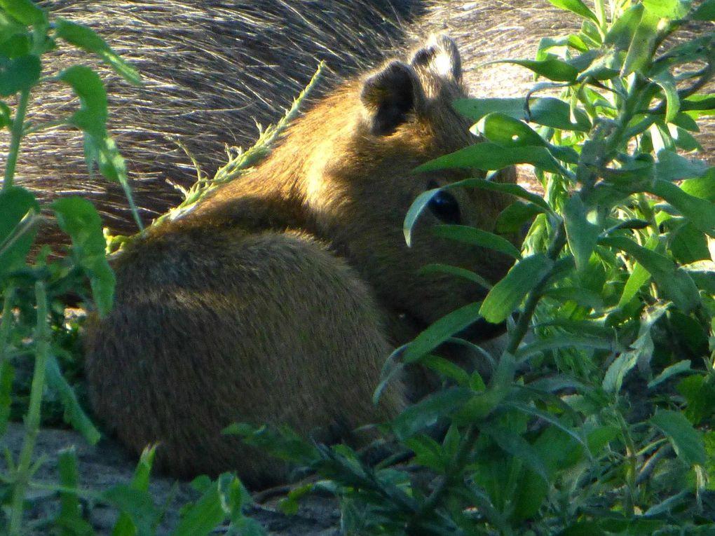 011 Capybara