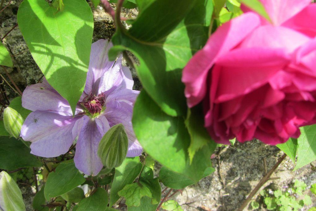rose ancienne et clématite