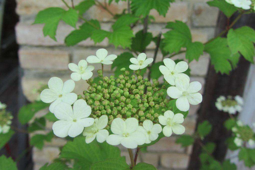 Des arbustes tout blancs qui enbaument le jardin ( viorne et oranger du Mexique ).