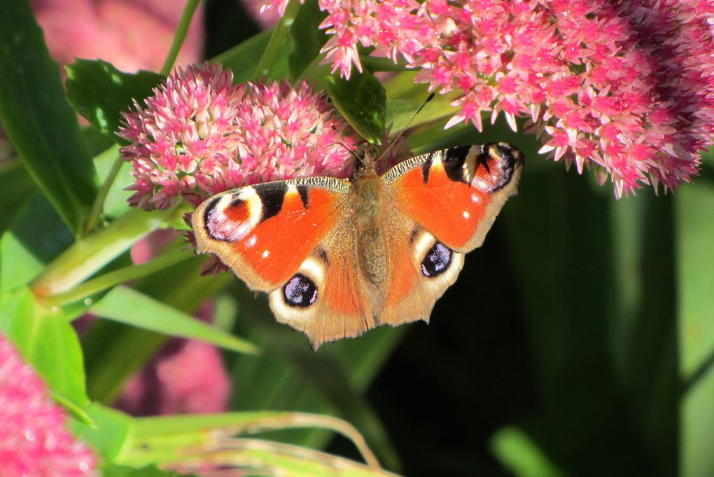Septembre : ouverture de la chasse... aux papillons.