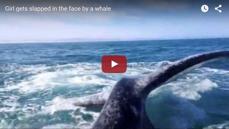Vidéo - une plaisancière giflée par une baleine
