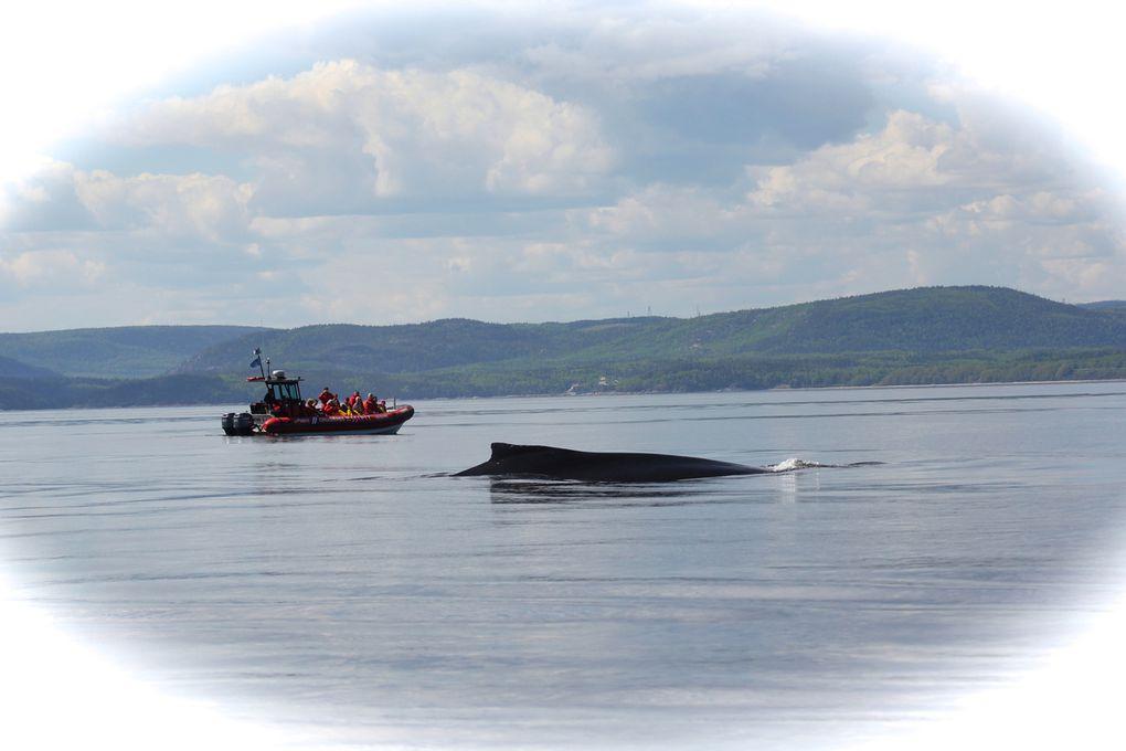 Superbe croisière aux baleines avec Julien Marchal,  capitaine des Croisières Essipit