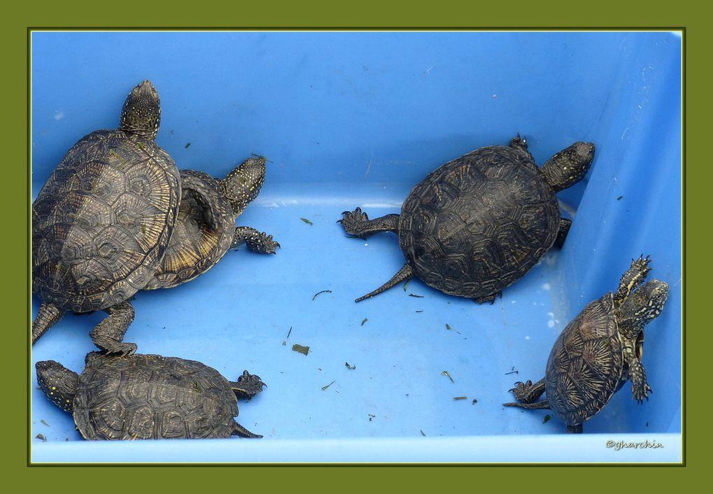 Les cistules sont des tortues aquatiques