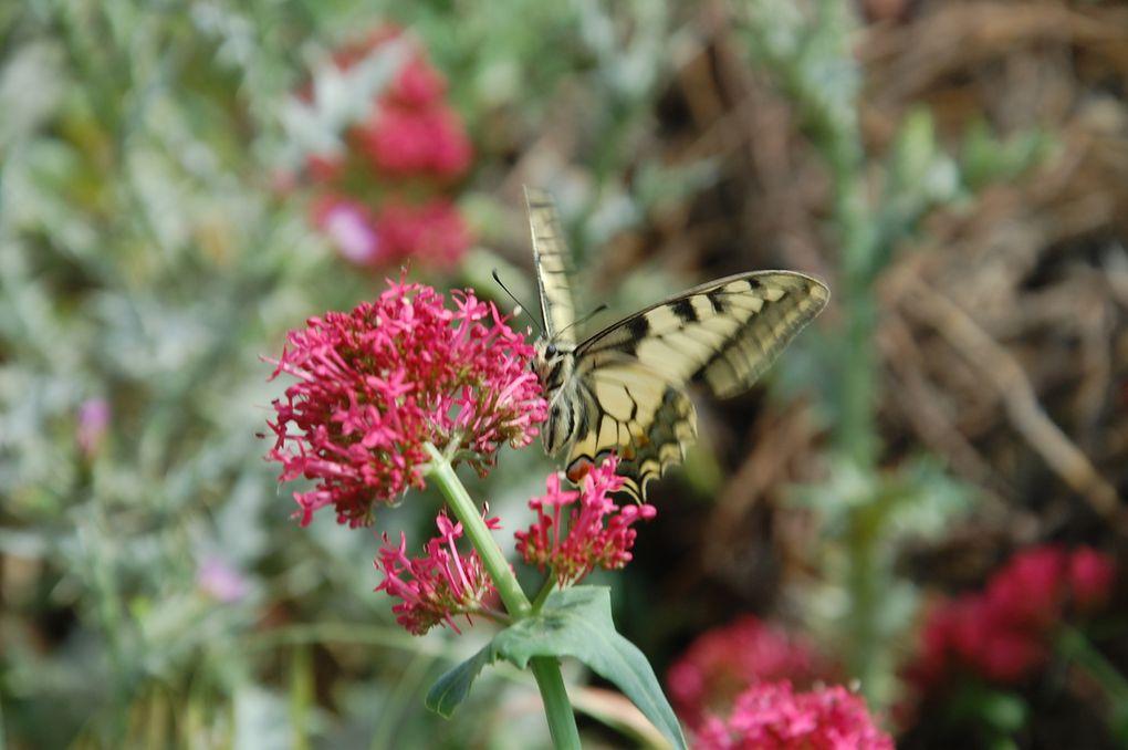 le machaon se régale sur une fleur de lilas sauvage
