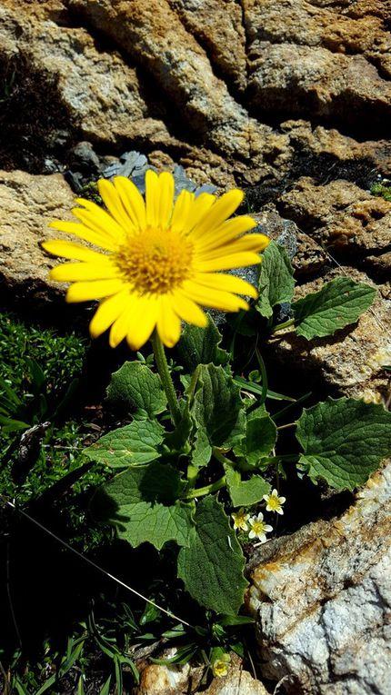 Tabouret à feuilles rondes, renoncule des glaciers, arméria des Alpes, saxifrage sillonnée, doronic à grandes fleurs, silène acaule, ligustique naine, saxifrage à deux fleurs, marguerite des Alpes