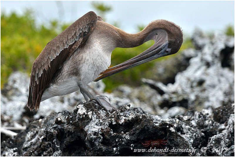 Pélican brun (Pelicanus occidentalis)