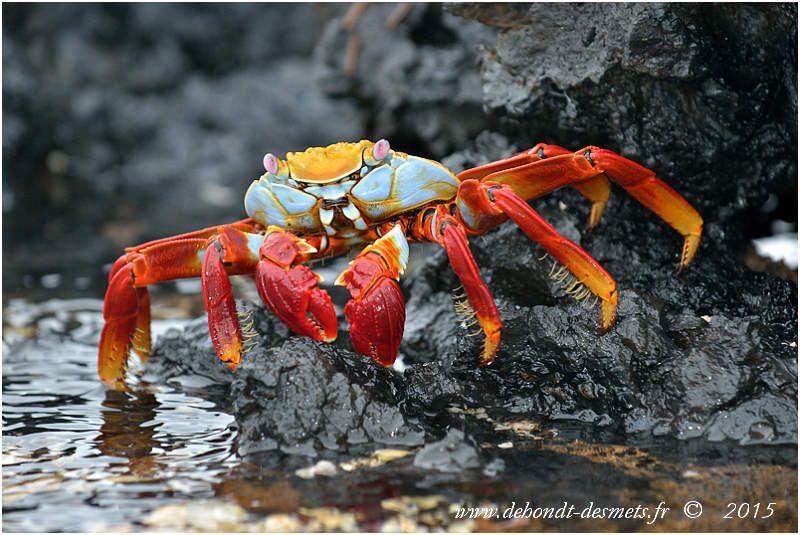 Crabe rouge des Galápagos (Grapsus grapsus)