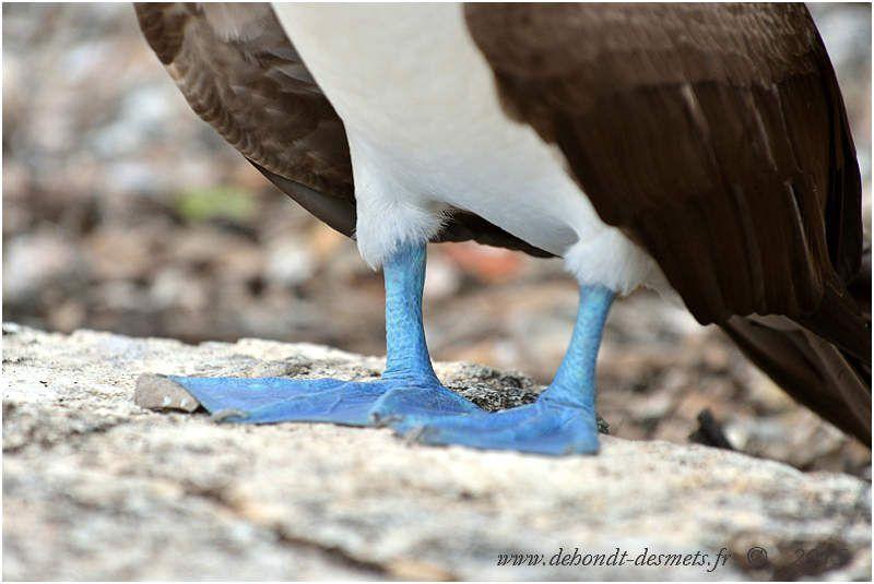 Fou à pattes bleues (Sula nebouxil )