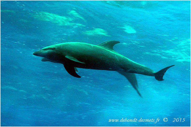 Les dauphins sont toujours présents aux Galápagos, et viennent volontiers jouer dans l'étrave des bateaux ou à la rencontre des plongeurs. Le Grand Dauphin et le Dauphin Commun sont les plus répandus dans l'archipel.Les Galápagos étant une réserve marine de 70000 km² où toute pêche commerciale est interdite, les dauphins y vivent en toute quiétude.