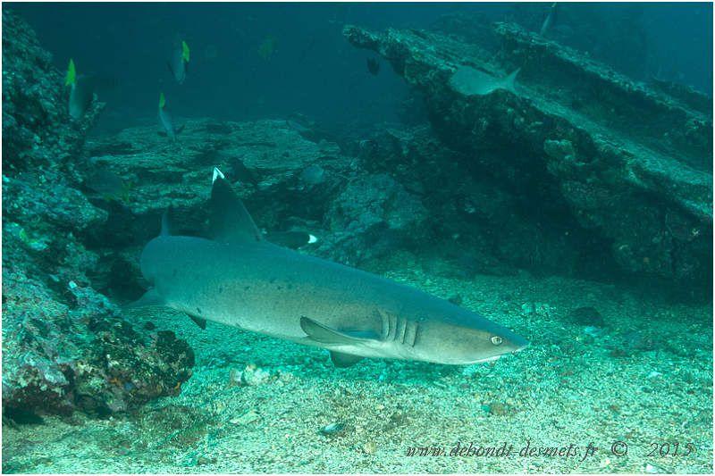 La silouhette très allongée du requin à pointes blanches est caractéristique.