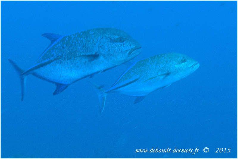 Comme son nom l'indique, la carangue bleue se reconnaît aisément à la dominante bleutée de sa coloration et au bleu électrique de ses nageoires.
