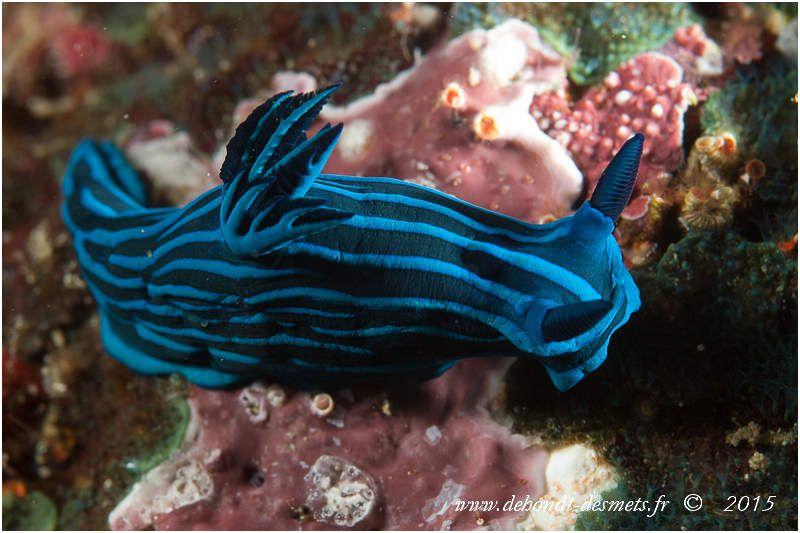 Les nudibranches comme le polycéra bleu rayé vivent sur les récifs peu profonds où ils se nourrissent, selon les espèces, d'ascidies, de coraux mous, d'hydraires, de bryozoaires ou d'éponges. Les deux tentacules situés à l'avant, les rhinophores, sont des organes sensoriels chimiosensibles qui détectent les odeurs et le bruit. A l'arrière du manteau, les panaches branchiaux sont utilisés pour la respiration.
