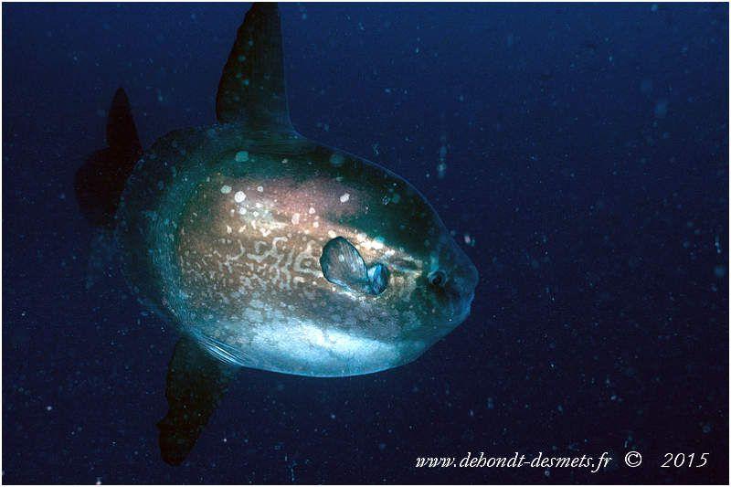 Le môle ou poisson lune est le plus lourd des poissons osseux, sa masse moyenne atteignant les 1 000 kilogrammes
