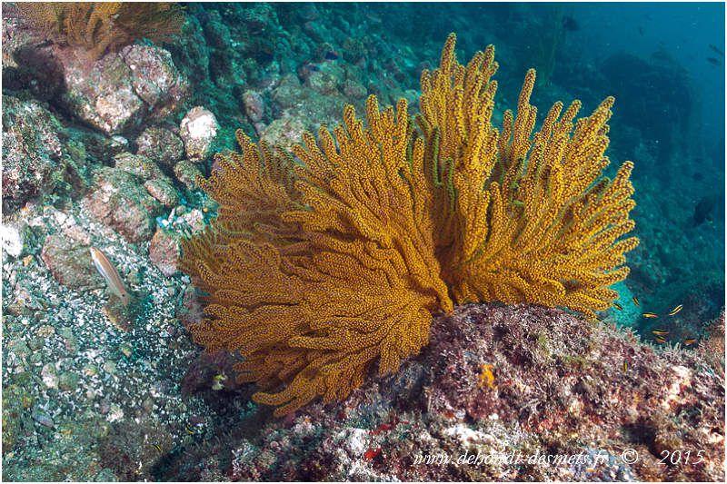 La gorgone dorée présente une forme en éventail. Ces coraux ne cultivent pas de zooxanthelles symbiotiques dans leurs tissus, contrairement aux coraux durs, et n'ont donc pas besoin de lumière pour se développer, ce qui approfondit considérablement leur habitat potentiel. Pour la même raison, ils ne poussent pas en direction du soleil mais perpendiculairement au courant, de manière à filtrer un maximum de flux d'eau pour augmenter les chances d'attraper le plancton.