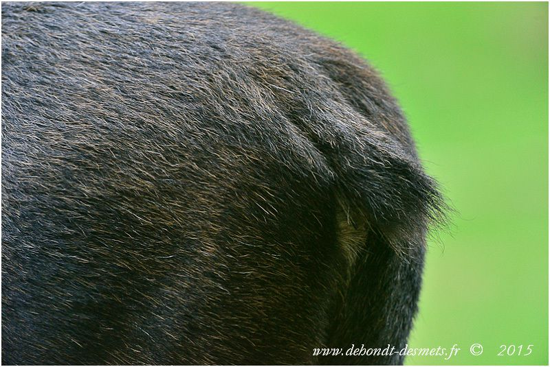 L'élan possède une petite queue qui ne dépasse pas 15 cm de longueur et de longues oreilles de 25 à 30 cm.
