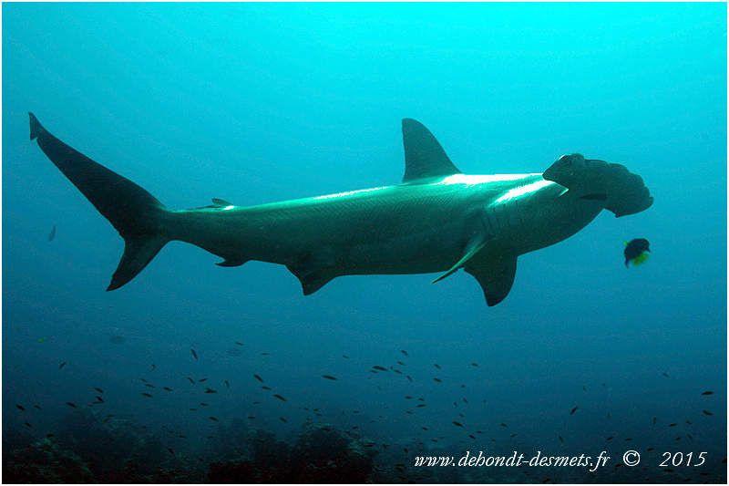 A l'occasion des périodes de migrations, les requins marteaux s'approchent volontairement des côtes pour subir un « déparasitage ». Il est assuré par de petits poissons, comme les poissons-ange à barre blanche, qui grignotent les petits parasites présents sur la peau de ces requins et nettoient les éventuelles blessures. Très coopératifs, les requins marteaux se mettent sur le flanc à leur arrivée pour signifier aux poissons-ange qu'ils sont disposés à subir un nettoyage en règle.