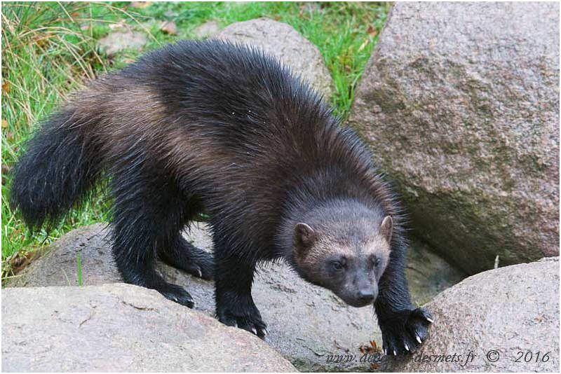 Petite boule de fourrure, trapu avec des griffes et des mâchoires redoutables, le glouton vit dans un environnement difficile.