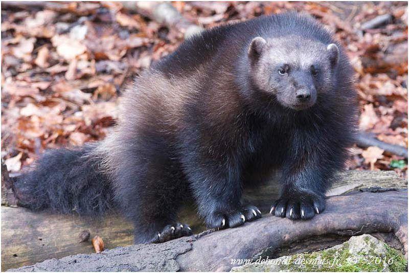 Les prédateurs naturels des élans sont les loups, les ours, les tigres de Sibérie, éventuellement de gros pumas et des gloutons pour les petits orignaux.