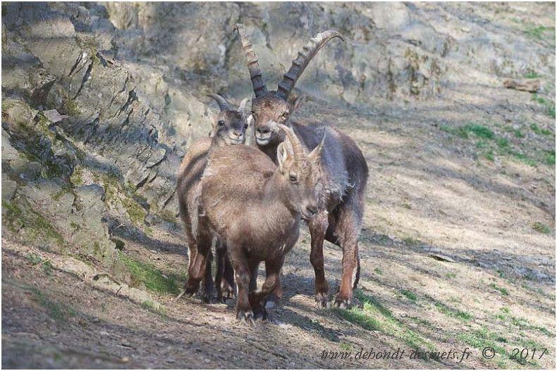Le bouquetin des Alpes présente un dimorphisme sexuel très prononcé, les mâles peuvent peser 2 fois plus que les femelles et portent des cornes beaucoup plus longues