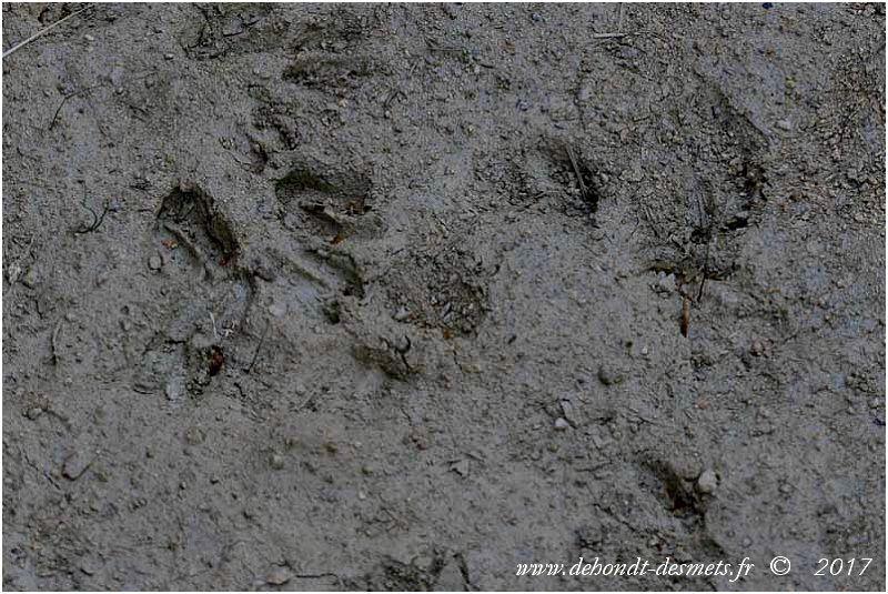 Le pudu est un ongulé artiodactyle:  il marche sur la pointe de ses quatre doigts, garnis de sabots. Chaque patte se termine par 4 doigts. Les 2 doigts externes sont petits et placés en arrière. Ce sont les ergots. Ils ne reposent pas sur le sol. Les 2 doigts du milieu portent chacun un sabot en corne, large et fendu