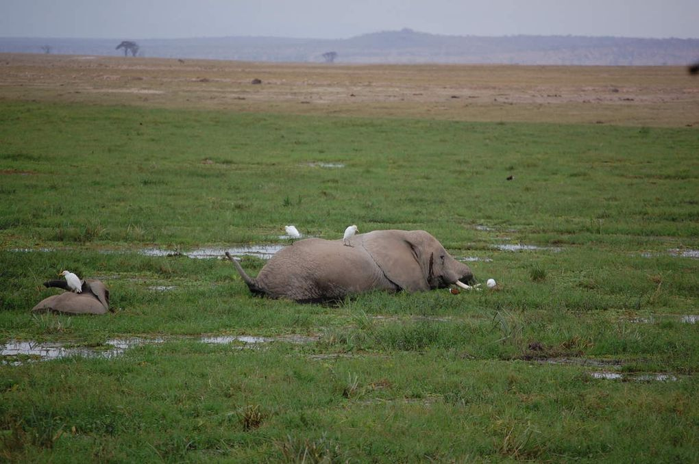 Amboseli National Park. Masai Mara National Park. Serengueti National Park. Fotos Jordi Prat y Montse Colilles.