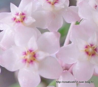ce sont de magnifique fleurs de collections