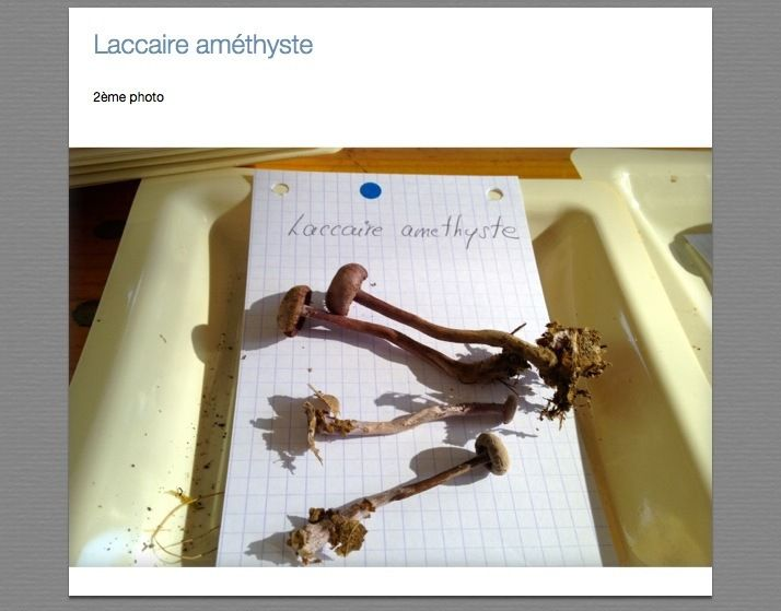 Laccaires