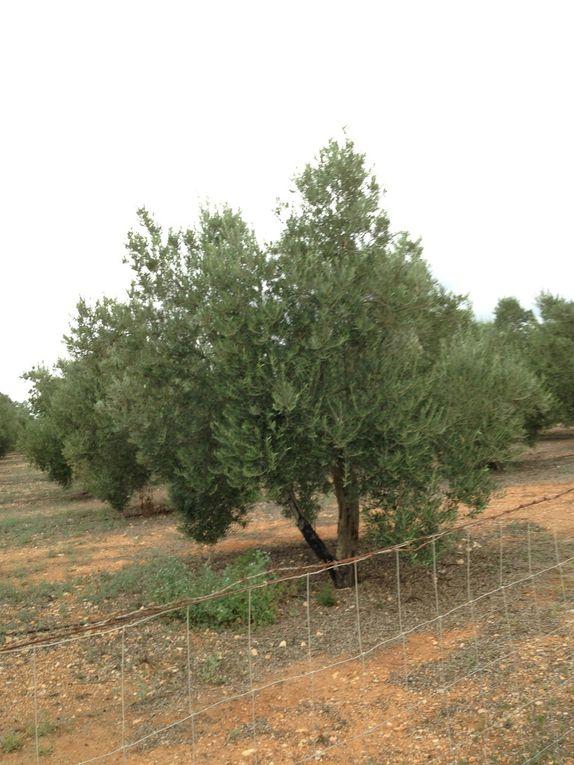Finca de Jornets, Oli de Mallorca