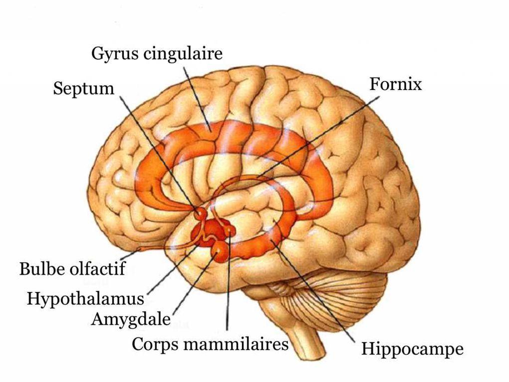 Le Cerveau Humain !