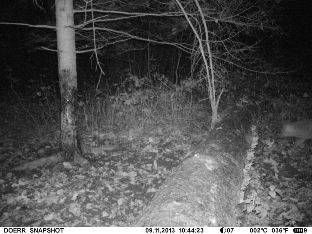 Un beau renard qui fréquente les mêmes lieux que les sangliers !