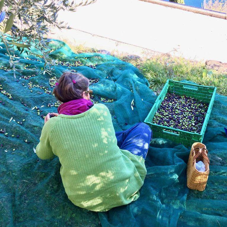 Raccolta olive 2016: le immagini