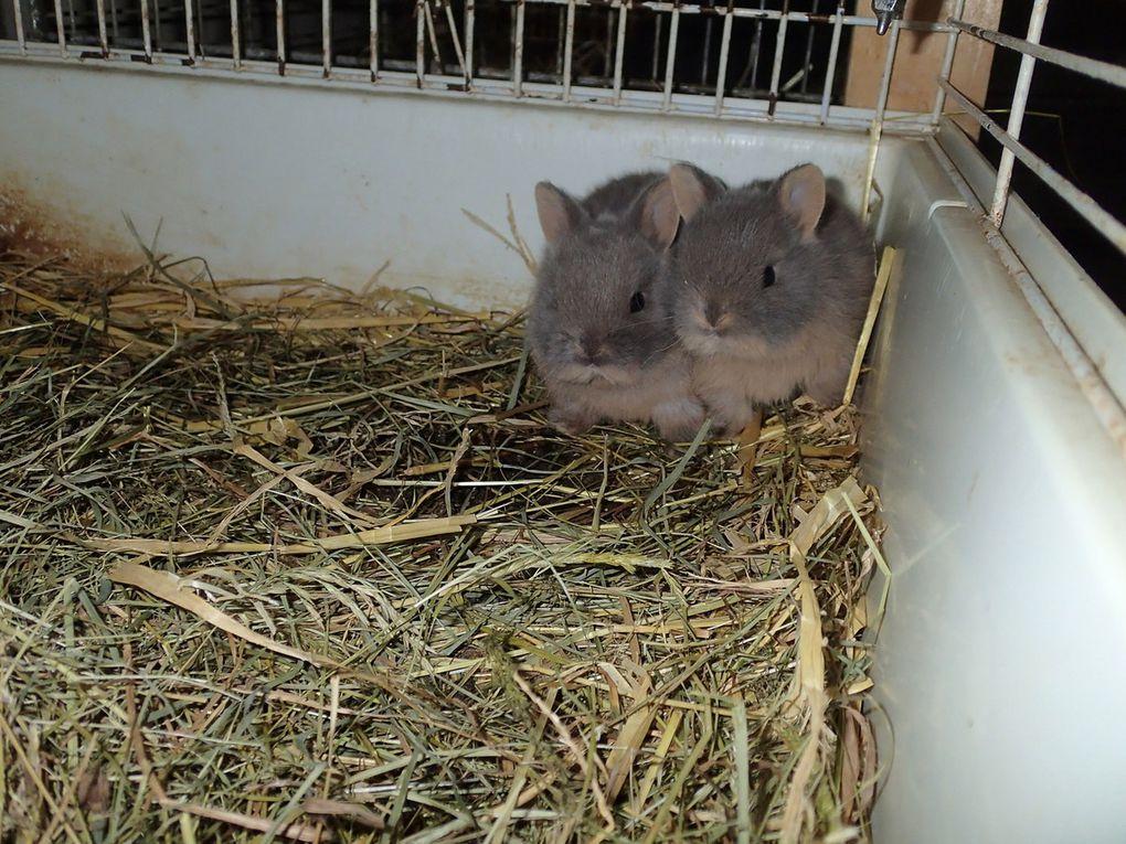 Les lapereaux de Krumble et Koline, nés le 5 Décembre