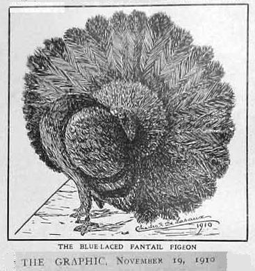 """Pigeons paon: """"Croquis à croquer"""" du journal de FERME, voici d'autres documents anciens"""
