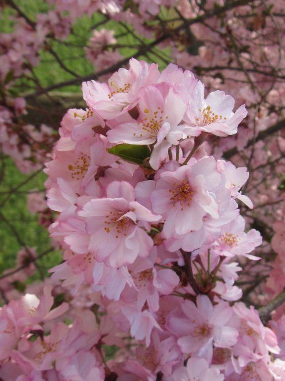 De magnifiques pommiers ou cerisiers en fleurs .