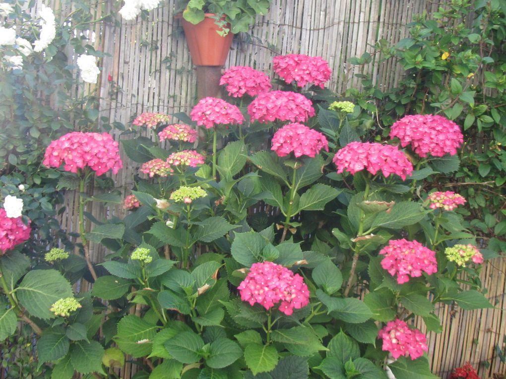 Dans mon jardinet , un groseiller à maquereaux  , des hortensias , des dahlias , des petites fleurs bleues , des pensées , des oeillets d'inde .Quelques petits amis venus décorer mon jardinet : oiseau , nains , chat , hérisson , grenouille