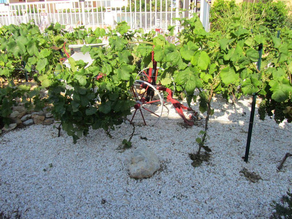 Suite de la visite dans la résidence ,objets en bois flotté, plants de vigne, en Juin le raisin n'était pas encore mûr.