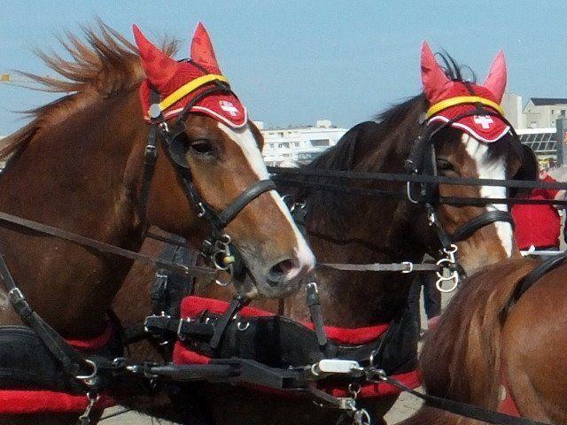 PLUS DE 20 RACES DE CHEVAUX...AU MARATHON D 'ATTELAGE de BERCK...