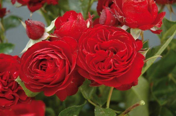 Les roses d'enfance