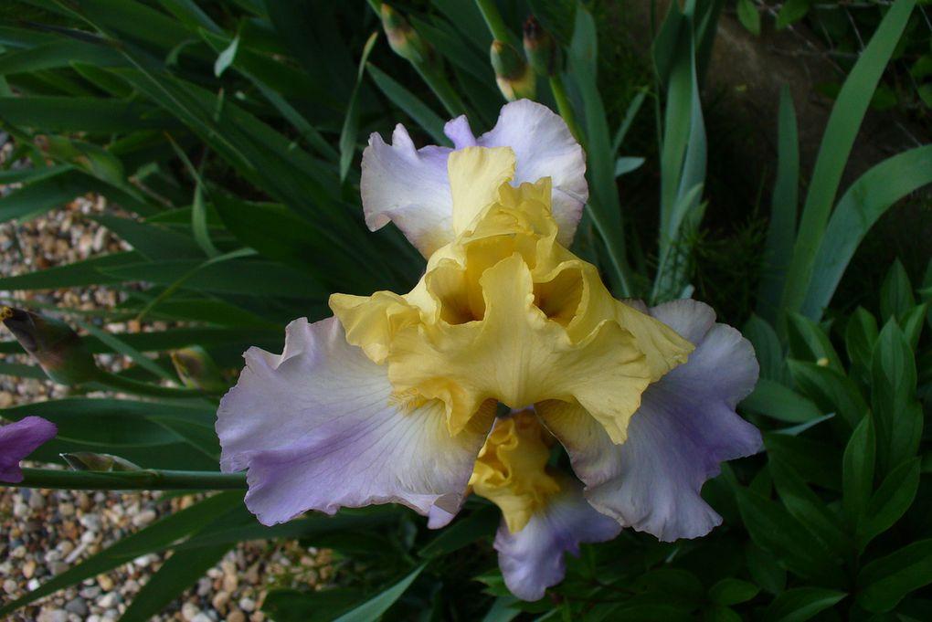 mes iris (suite)