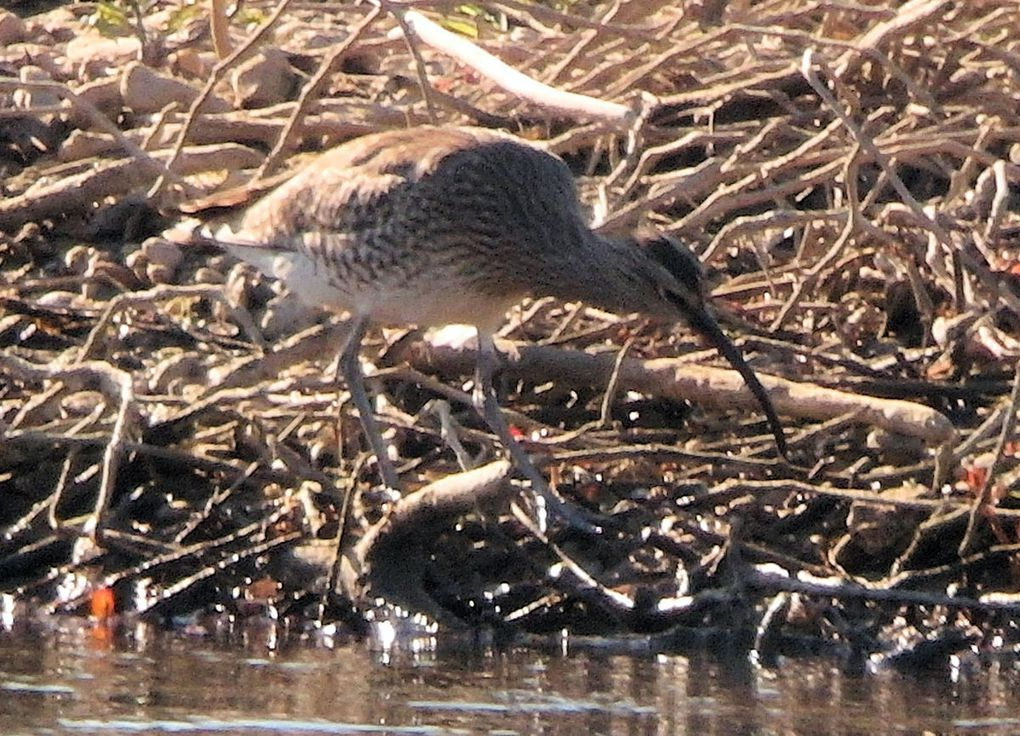 Oiseau rare : le Courlis corlieu