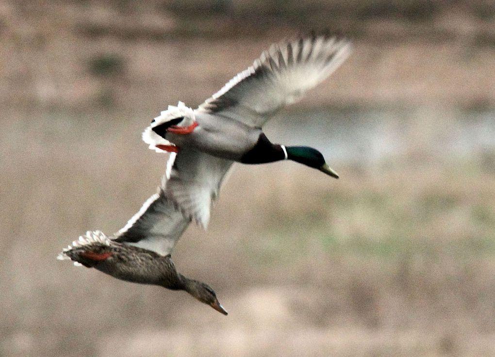 Canard colvert : duo amoureux en ballet aérien