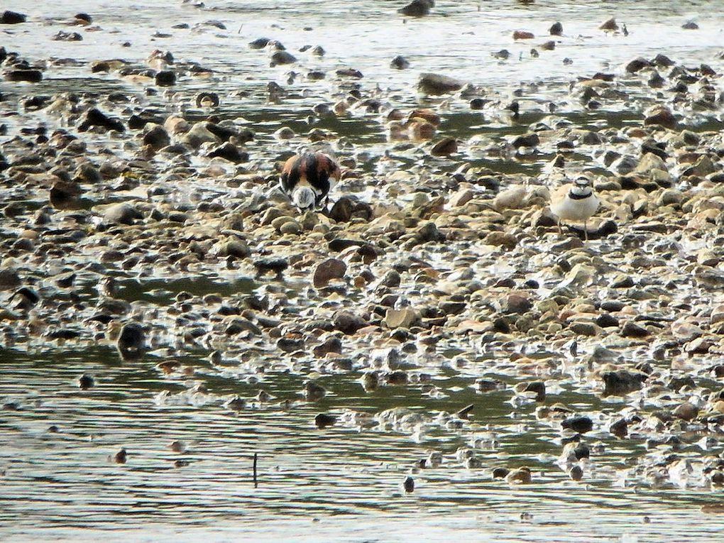 Oiseau rare : le Tournepierre à collier
