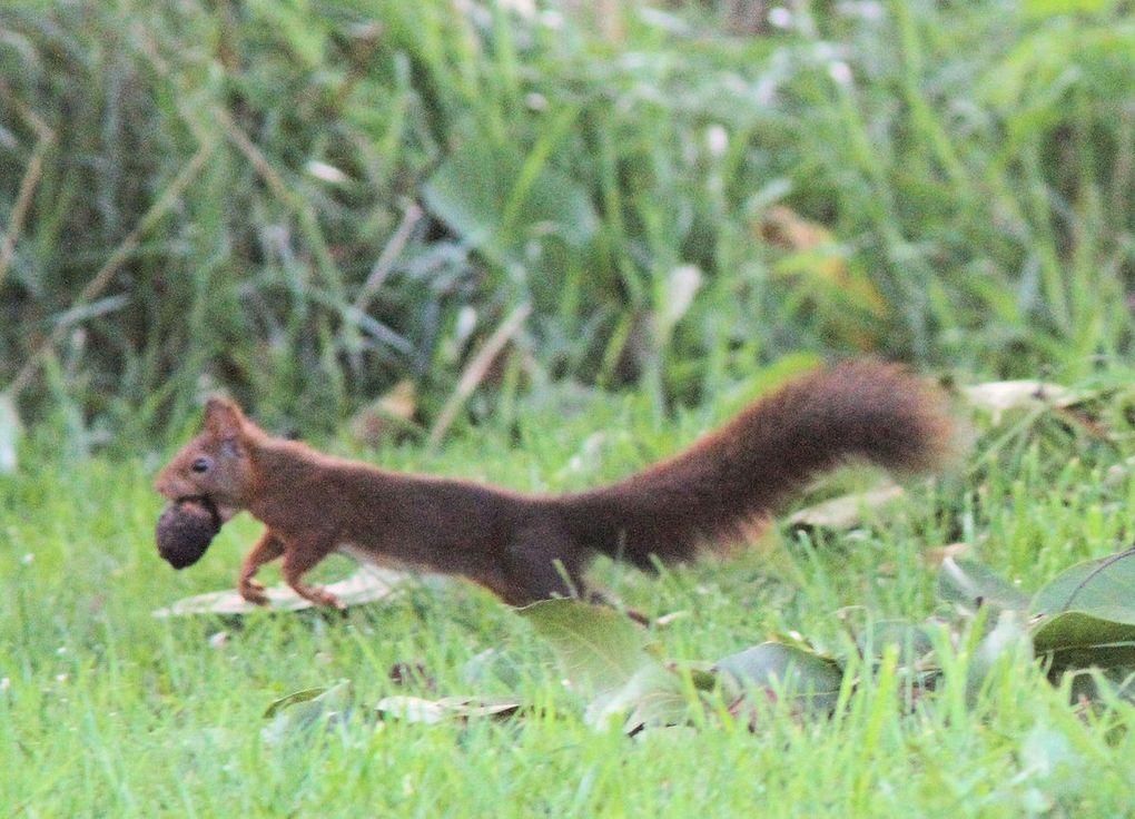 Au voleur ! L'Ecureuil pille les noix...