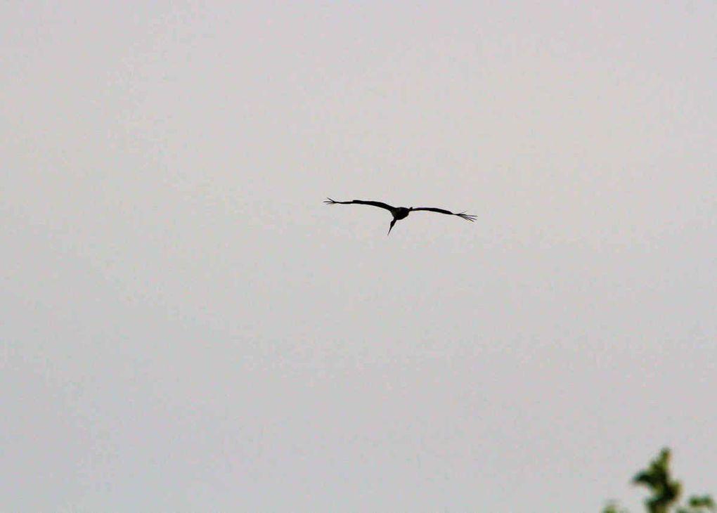 Deux Cigognes noires sur le retour