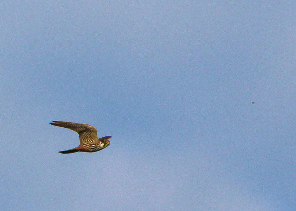Un couple de Faucons hobereaux dans le ciel du Mont
