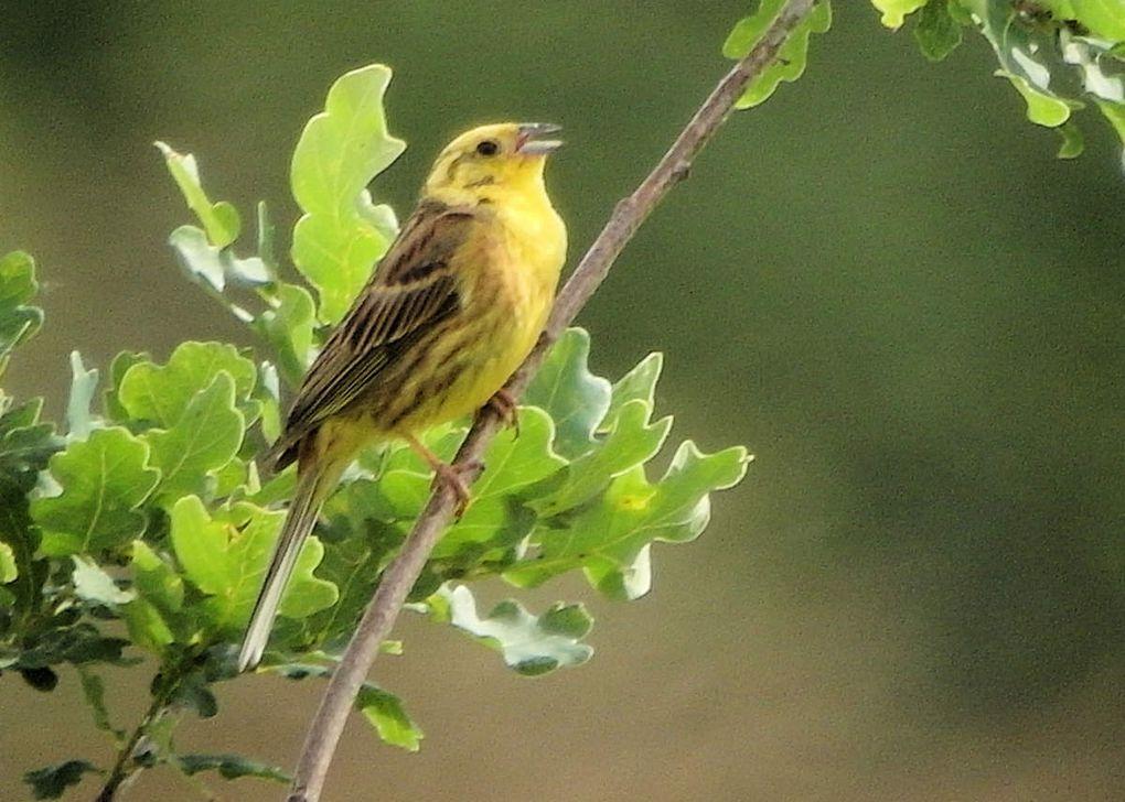 Le Bruant jaune chante sans fin