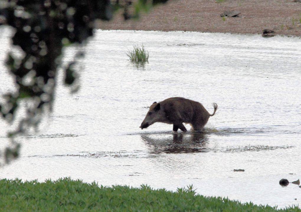Un Sanglier remonte la Loire