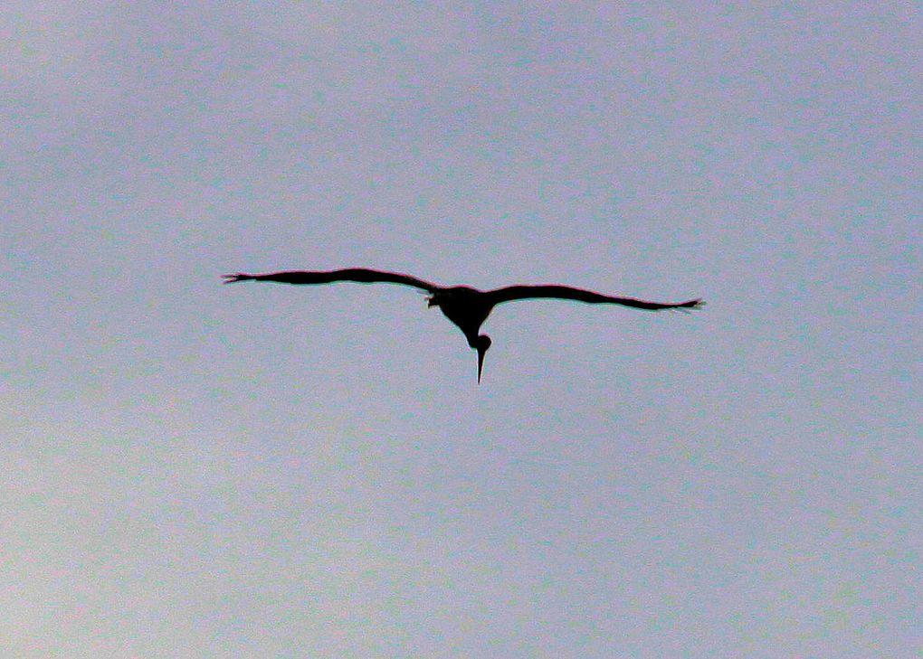 Ciconia nigra : le noir et le rouge